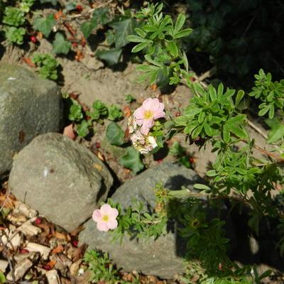 Potentilla fruticosa 'Pink Beauty'  -
