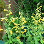 Agastache aurantiaca 'Sunset Yellow' - Agastache aurantiaca 'Sunset Yellow' - Dropplant