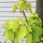 Acer cappadocicum 'Aureum' - Acer cappadocicum 'Aureum' - Colchische esdoorn