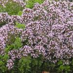 Oreganum vulgare 'Compactum' - Oreganum vulgare 'Compactum' - Compacte oregano