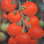 Lycopersicon esculentum 'Maja' - Lycopersicon esculentum 'Maja' - Balkontomaten