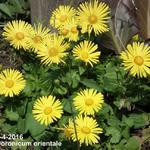 Voorjaarszonnebloem/Gele margriet - Doronicum orientale