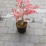 Acer palmatum 'Shirazz' - Acer palmatum 'Shirazz' - Japanse esdoorn