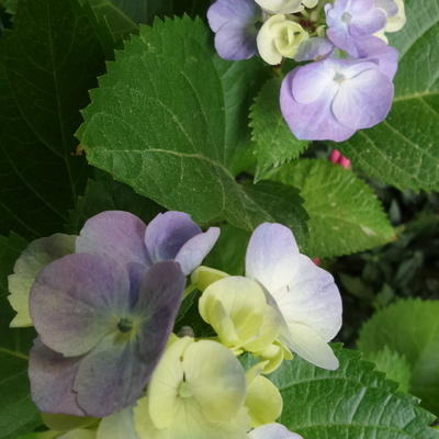 Hydrangea macrophylla FLAIR & FLAVOUR 'Minty Ice' -