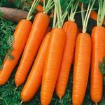 Daucus carota - Wortel - Daucus carota
