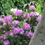Rhododendron ponticum 'Roseum' - Rododendron - Rhododendron ponticum 'Roseum'