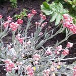 Helichrysum 'Ruby Cluster' - Helichrysum 'Ruby Cluster' - Kerrieplant