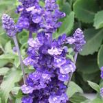 Salvia nemorosa 'Bordeau Steel Blue' - Salvia nemorosa 'Bordeau Steel Blue' - Salie