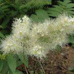 Sorbaria sorbifolia - Sorbaria sorbifolia - Lijsterbesspirea