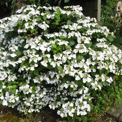Hydrangea macrophylla 'Veitchii'  -