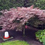 Acer palmatum 'Garnet' - Acer palmatum 'Garnet' - Japanse esdoorn