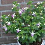 Fuchsia 'Estelle Marie' -