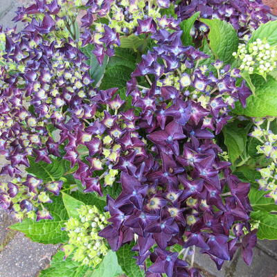 Hydrangea Macrophylla 'Deep Purple Dance' -