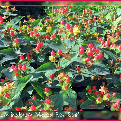 Hypericum inodorum 'Magical Red Star' -