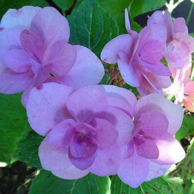 Hydrangea macrophylla 'Jõgosaki'  -
