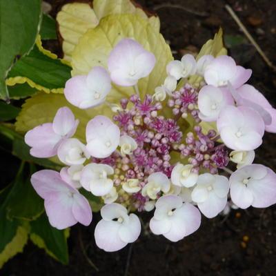 Hydrangea macrophylla 'Lemon Wave' -