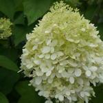 Pluimhortensia / Schapenkoppen - Hydrangea paniculata 'Grandiflora'
