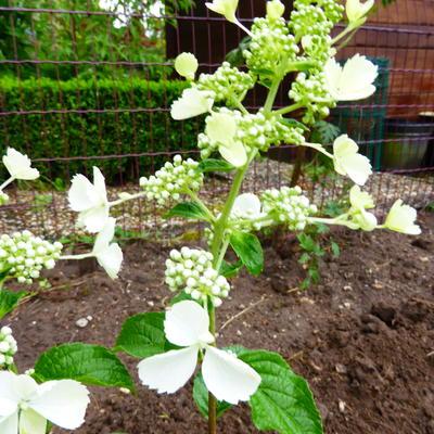 Hydrangea paniculata 'White Lady' -