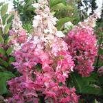 Pluimhortensia - Hydrangea paniculata 'Pinky Winky'
