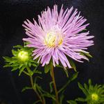 Callistephus chinensis  - Callistephus chinensis  - Chinese aster, Zomeraster, Reinmargriet