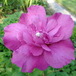 Hibiscus syriacus 'Purple Ruffles' - Althaeastruik - Hibiscus syriacus 'Purple Ruffles'