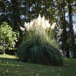 Pampasgras - Cortaderia selloana