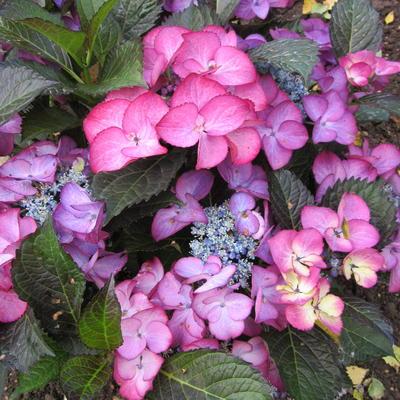 Hydrangea  macrophylla BLACK DIAMONDS 'Baroque Angel Blue' -
