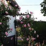 Roos, klimroos - Rosa 'Pierre de Ronsard'