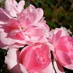 Rosa 'Bonica' - Roos - Rosa 'Bonica'
