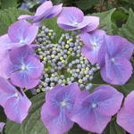 Hydrangea macrophylla 'Mariesii Grandiflora' - Hortensia - Hydrangea macrophylla 'Mariesii Grandiflora'