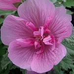 X Alcalthaea suffrutescens 'Parkrondell' - Stokroos - X Alcalthaea suffrutescens 'Parkrondell'