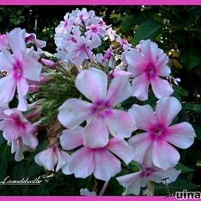 Phlox paniculata 'Lavendelwolke' -