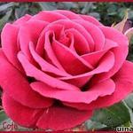 Rosa 'Terracotta' - Rosa 'Terracotta' - Roos