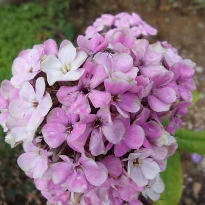 Phlox paniculata 'Sherbet Blend' -