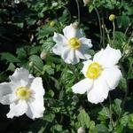 Herfstanemoon - Anemone hybrida 'Andrea Atkinson'