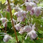 Elfenbloem - Epimedium x youngianum 'Roseum'