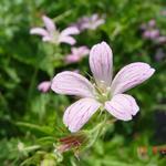 Geranium x oxonianum 'Claridge Druce' - Ooievaarsbek - Geranium x oxonianum 'Claridge Druce'
