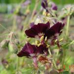 Ooievaarsbek - Geranium phaeum