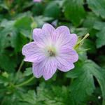 Geranium versicolor - Ooievaarsbek - Geranium versicolor