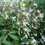 Gillenia - Gillenia trifoliata