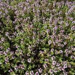 Citroentijm - Thymus x citriodorus
