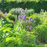 Allium 'Gladiator' - Allium 'Gladiator' - Sierui