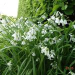 Allium triquetrum - Allium triquetrum - Driekantig look