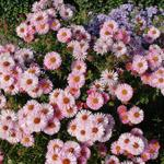 Aster - Aster novae-angliae 'Rosa Sieger'