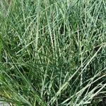 Carex atrata - Zwarte alpenzegge - Carex atrata