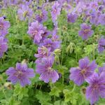 Geranium 'Alan Mayes' - Geranium 'Alan Mayes' - Ooievaarsbek