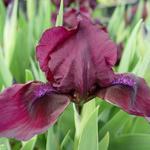 Iris pumila 'Cherry Garden' - Zwaardlelie - Iris pumila 'Cherry Garden'