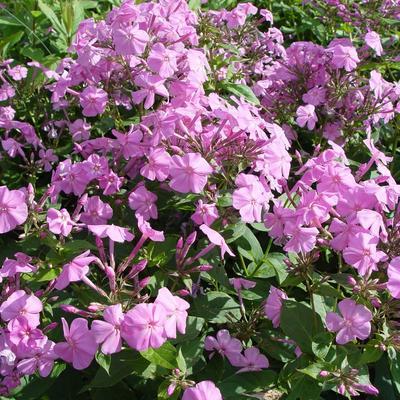 Phlox amplifolia -