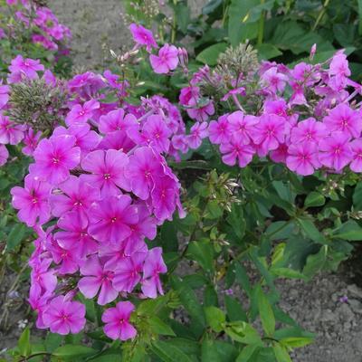Phlox amplifolia 'Pink Painting' - Vlambloem, floks - Phlox amplifolia 'Pink Painting'