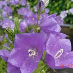Perzikbladklokje - Campanula persicifolia 'Grandiflora Caerulea'